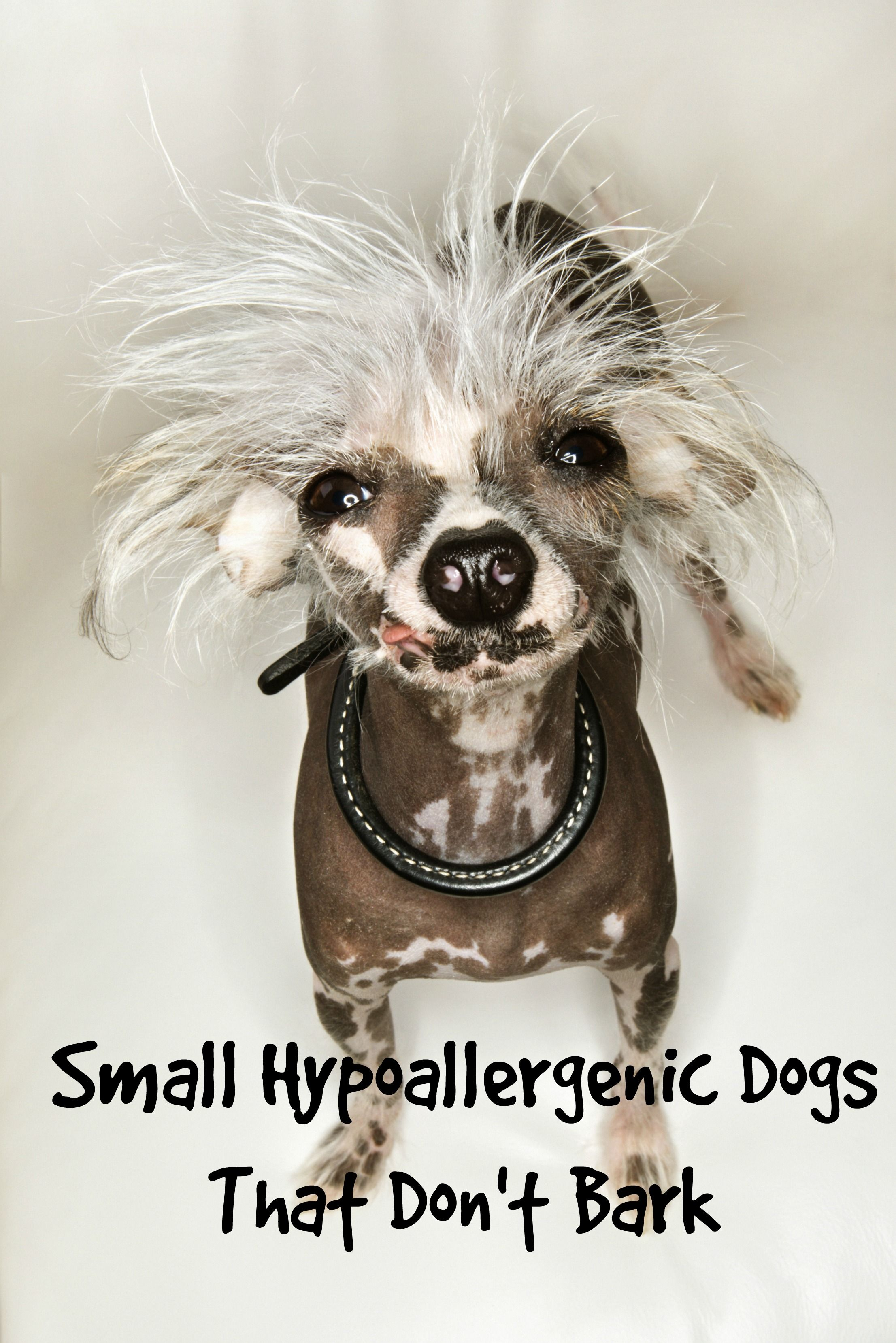 Small Hypoallergenic Dogs That Don't Bark...Much Dog