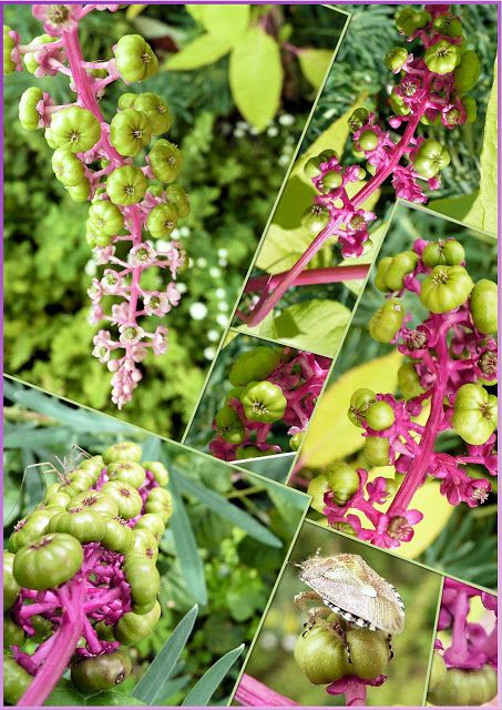 Phytolaque, Raisin d'Amérique ou Teinturier (Phytolacca americana)