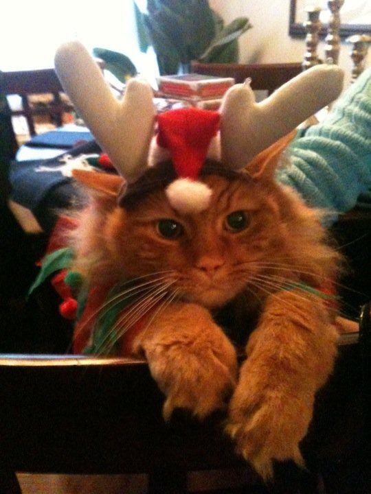 Finnigan the Rein-cat