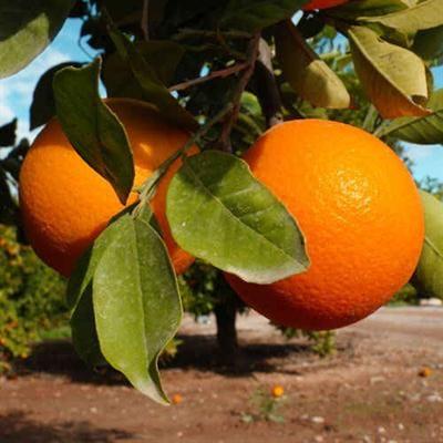COME NARANJAS - Naranjas de mesa 15 kg.