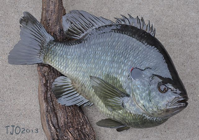 4lb  7oz  Male Redear Sunfish Replica | Fish Replicas | Fish