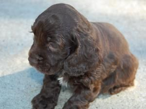 Adopt Riley On Petfinder Cocker Spaniel Puppies Spaniel Puppies Dogs