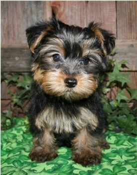 This Is What My New Morkie Puppy Looks Like Shes 4 Weeks Old And