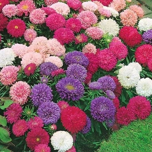 China Aster Seeds Single Mix Flower Seeds Flower Garden Plants Garden Plant Pots