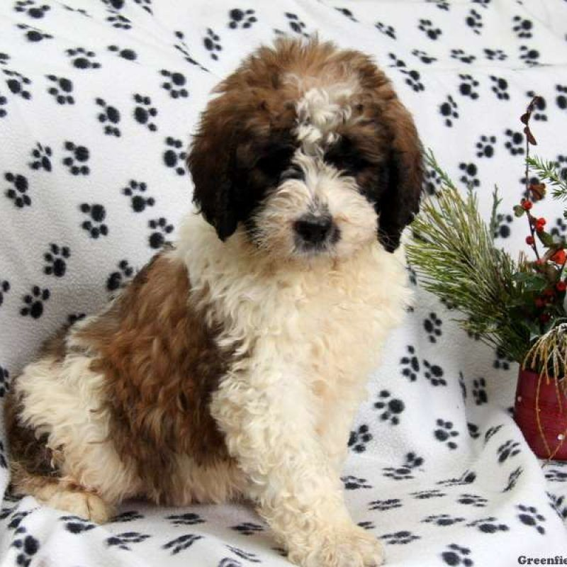 Saint Berdoodle Puppies For Sale St Berdoodle Bernadoodle Puppy