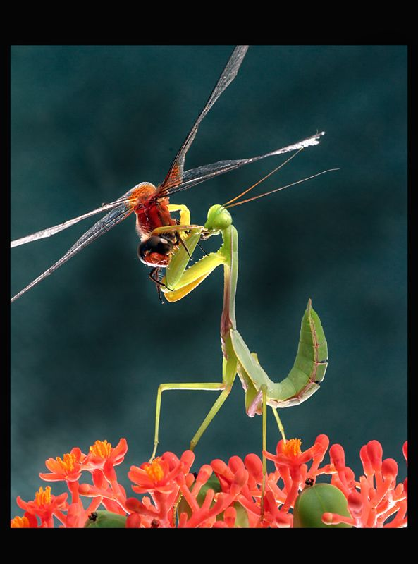 Mantis, photo by ettan ettan Bugs and insects, Beautiful