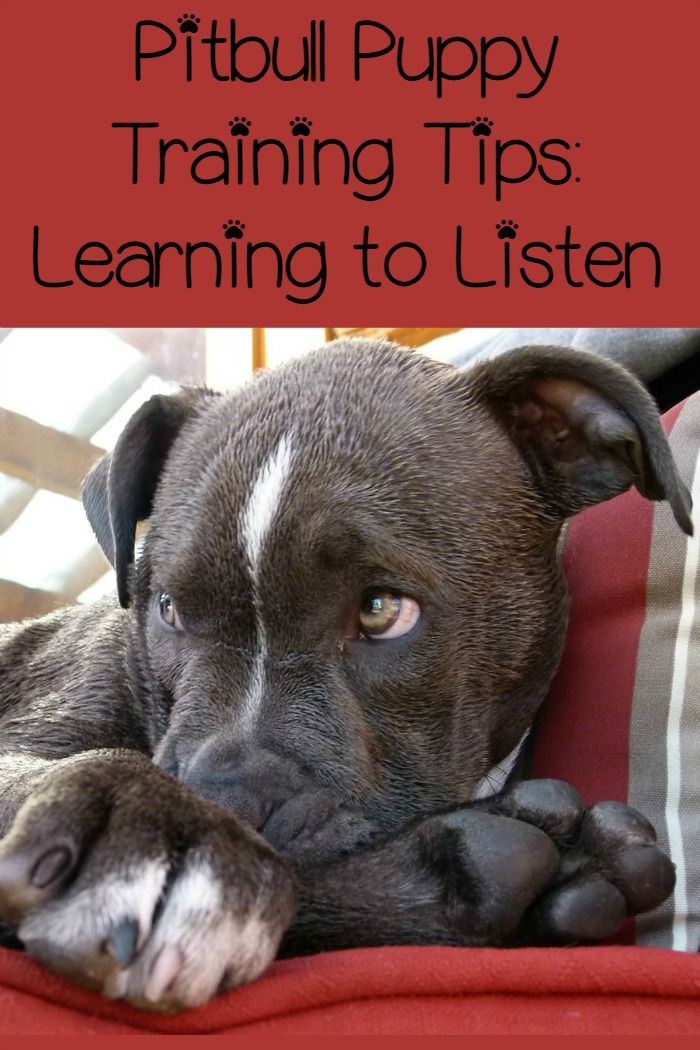 Pitbull Puppy Training Tips Learning To Listen Puppy Training
