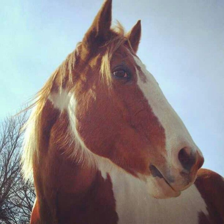 """#ilovehorses!! Large, gorgeous and so gentle! My heart will always belong to my """"Sunny"""" you were the best horse a little girl could ask for! Rest in Peace big boy."""