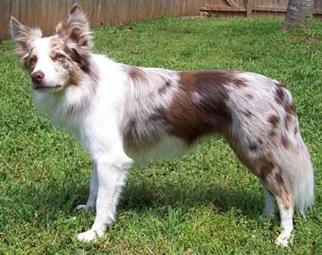 Red Merle Border Collie Border Collies Red Merle Border Collie