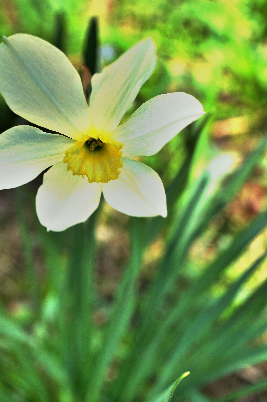 Daffodil Daffodils My Secret Garden Flower Cart