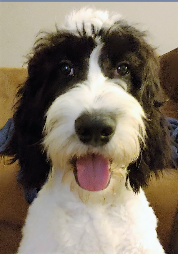 My New Puppy 6 Mos Loki He Is An English Springer Spaniel Poodle Springer Doodle Https Ift Tt 2in1tcd New Puppy Puppies English Springer