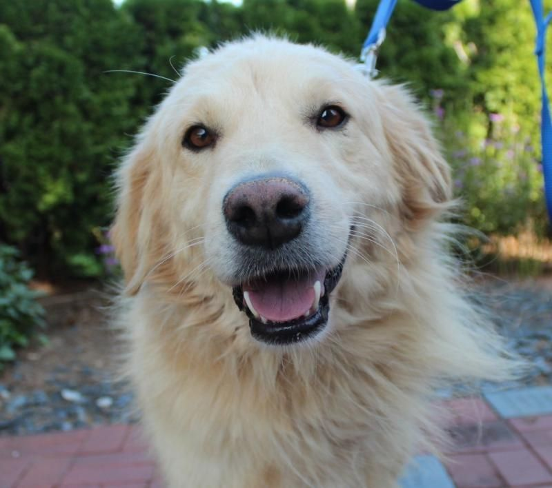 Adopt Griffin On Golden Retriever Rescue Dogs Golden Retriever