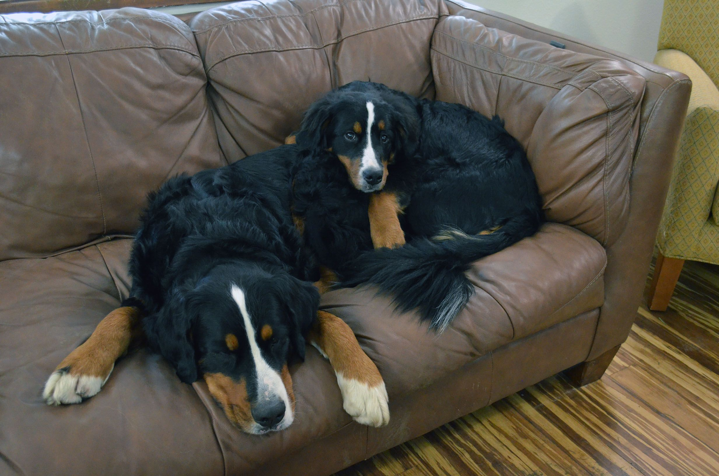 Clyde And Cloe On The Couch Animals Dogs Clyde