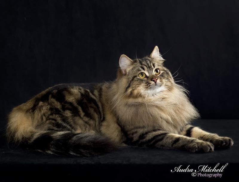 Purrshka Siberian Cats Siberian Kings Siberische Kat Mooie Katten Katten
