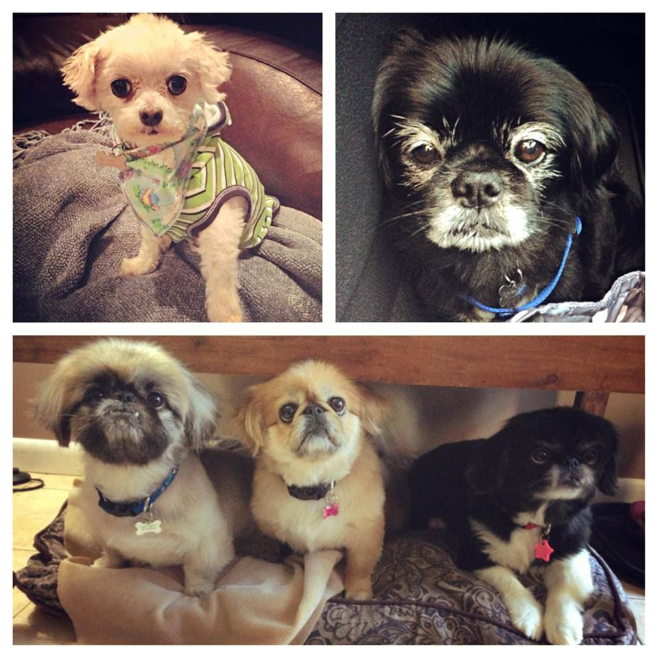 Happy #NationalDogDay from the #AstonFurKids (top left to right & bottom - 2 of whom are #Rescues)  Itty Bitty, Pepe, BoBo, Punkin & Pookie.   Hey better late than never... But with 5 dogs every day is National Dog Day around here!  #HugYourFurKid