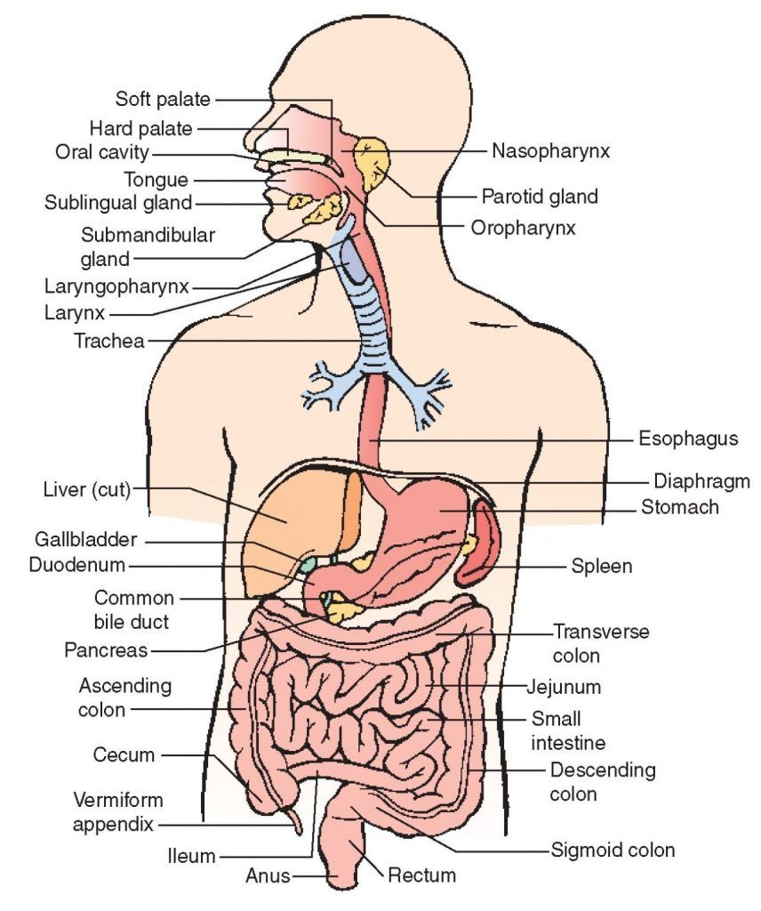 Diagram Of Inside Of Body   Diagram Of Inside Of Body