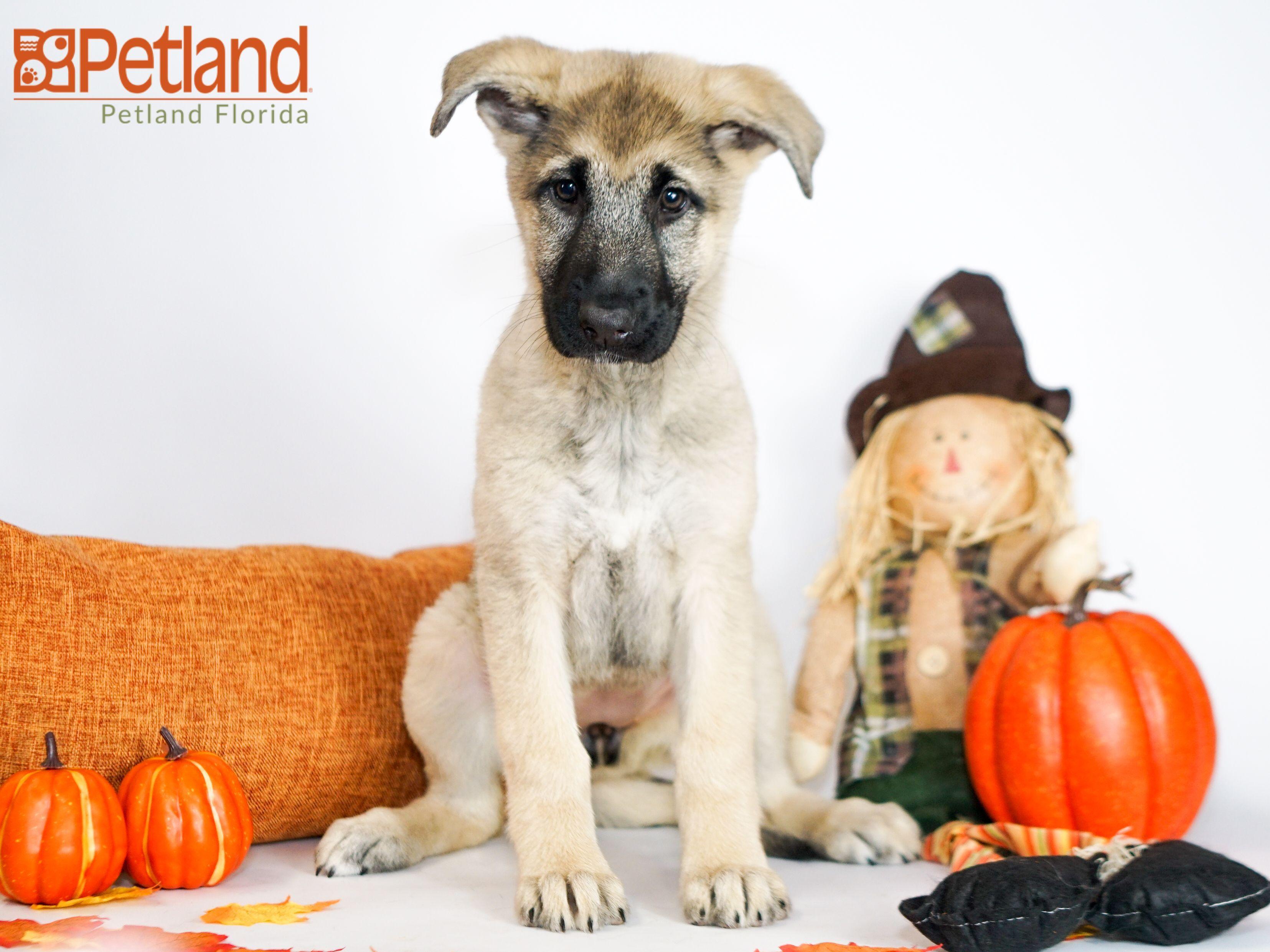sheprador puppies for sale in texas