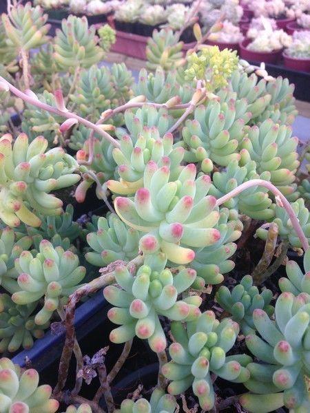 SEDUM PACHYPHYTUM Blue Jelly Beans Hanging Basket ...
