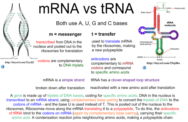 comparison between mrna and trna genetics school and molecular biology. Black Bedroom Furniture Sets. Home Design Ideas
