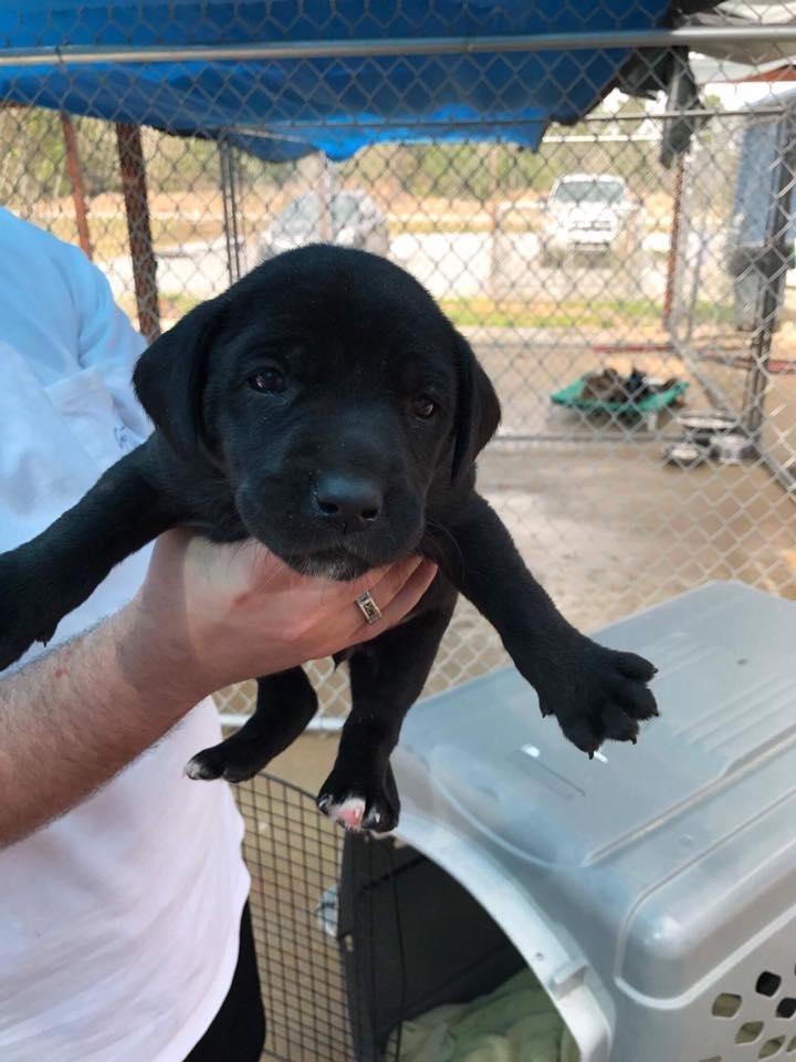 Adopt Chili (Spice puppy) on Petfinder Black labrador