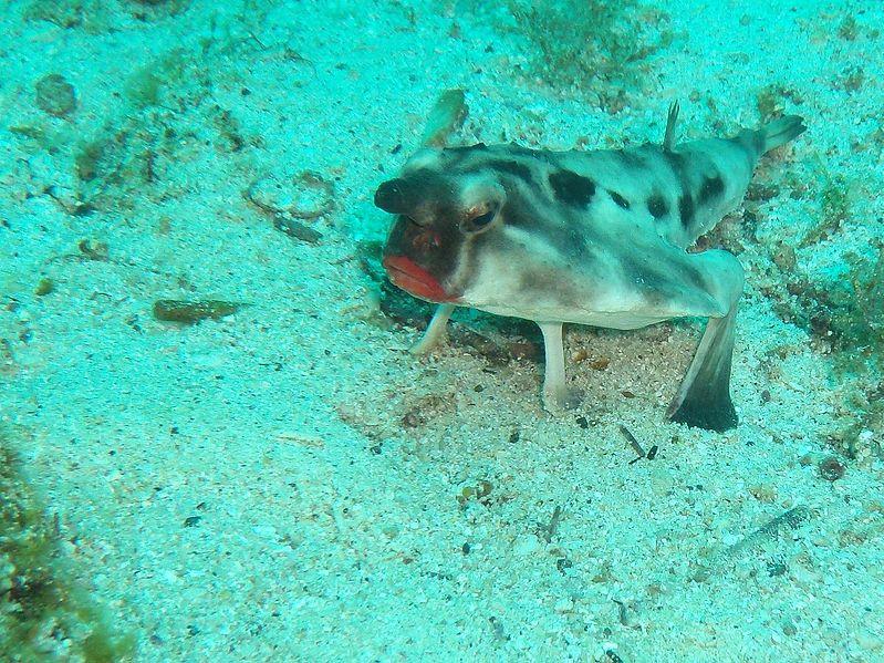 Red Lipped Bat Fish Looks Like It S Wearing Fierce Lipstick