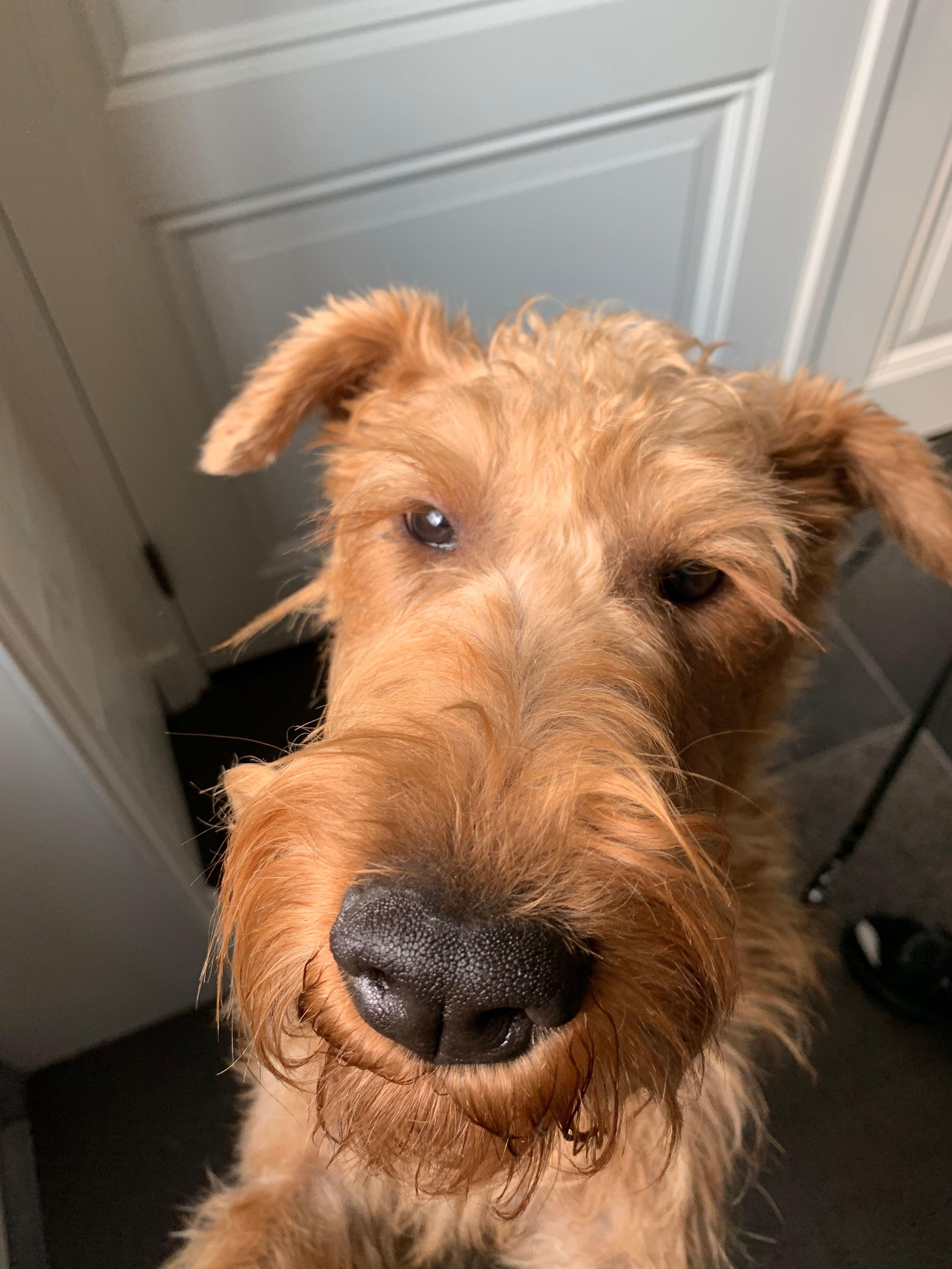 Pin Van Bob Op Irish Terrier Terrier Iers