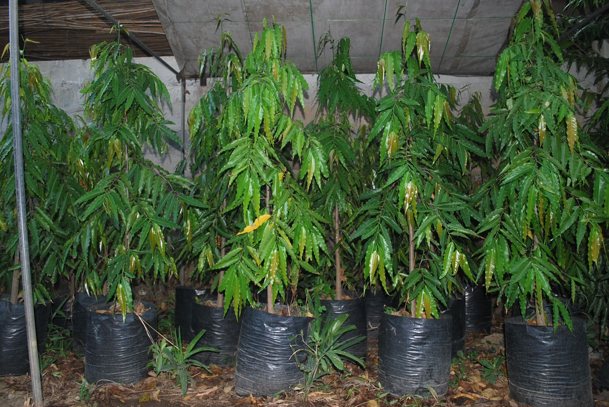 Image result for neem tree philippines Trees to plant