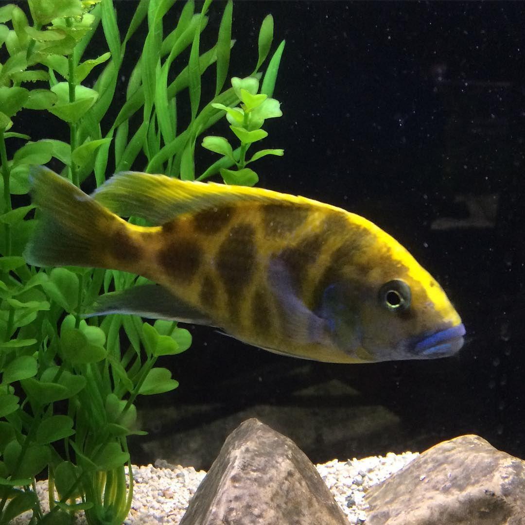 Blue Fish Aquarium On Instagram Male Nimbochromis Venustus A Good Looking Predator From Lake Malawi Cichlids Cichli Aquarium Fish Malawi Cichlids Cichlids