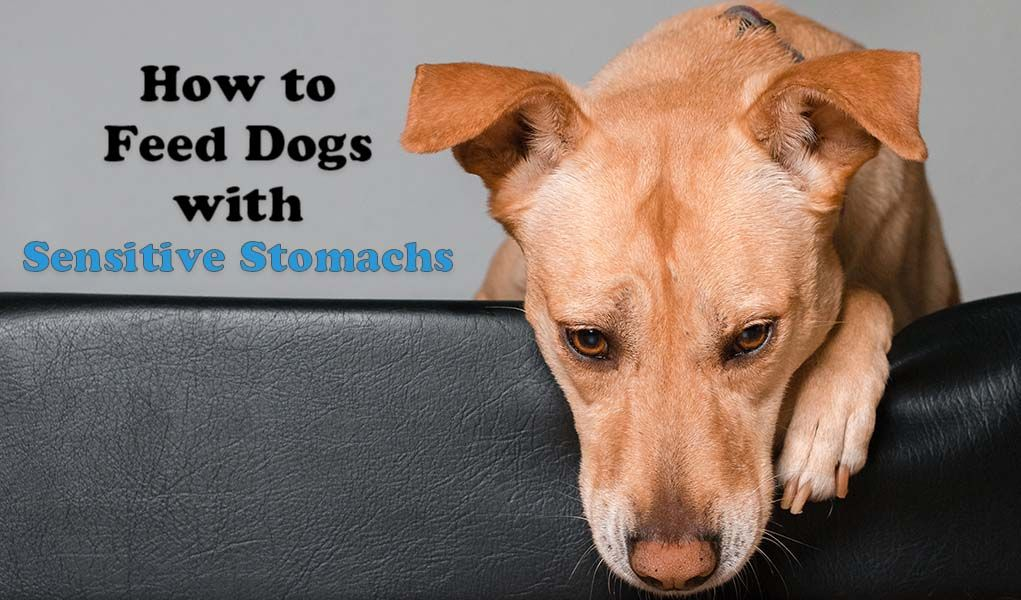 9 Tips On Feeding Dogs With Sensitive Stomachs Dog Feeding Best