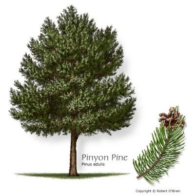 New Mexico Pictures Pinyon Pine Pinyon Pine With Close
