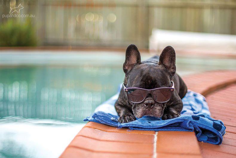 58c08bb9afbb Winston the French Bulldog, relaxing by the pool. #dog ...