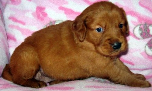 Cinnimin Chester Puppies Red Golden Retriever Puppies Akc Dark