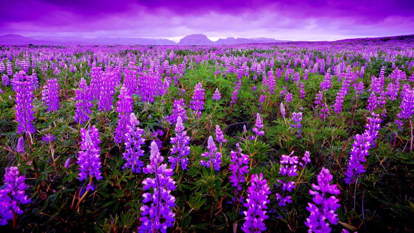 Rows Of Lavendar Computer Wallpapers Desktop Backgrounds 1366x768 Flower Landscape Flower Backgrounds Flower Field