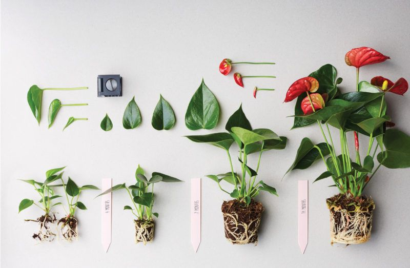 Pin Op Diy With Anthurium Flowers Plants