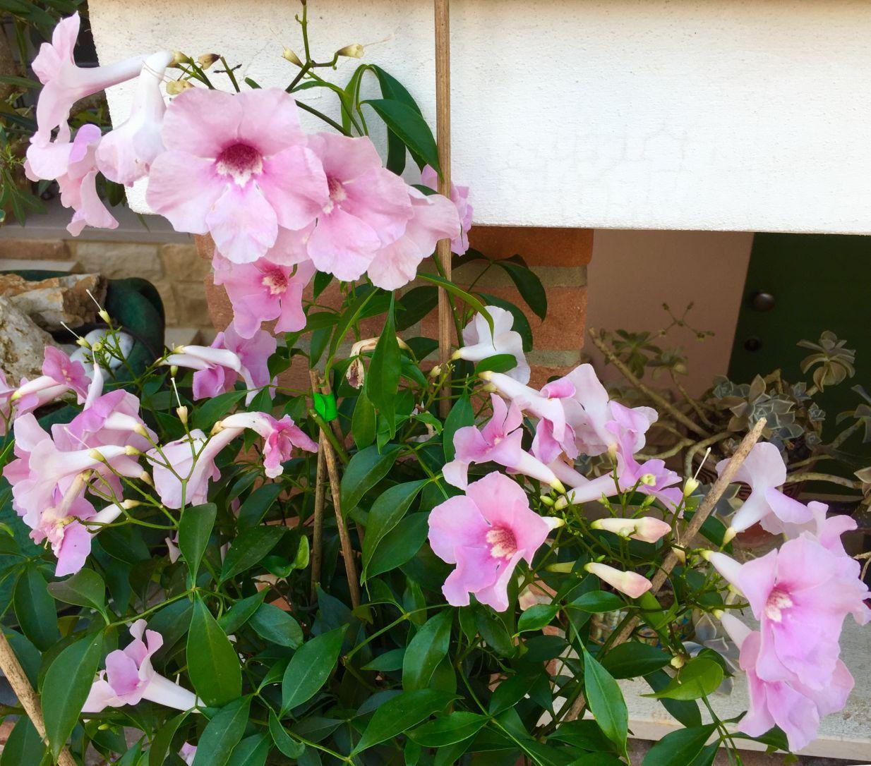 Pandorea pianta rampicante da fiore - fioritura generosa e ...