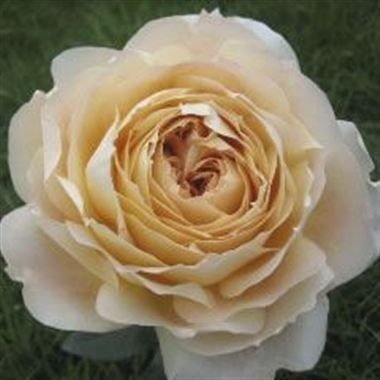 A large, cabbage shaped golden tan rose with a slight fragrance. Fragrance potency scale 2/5.