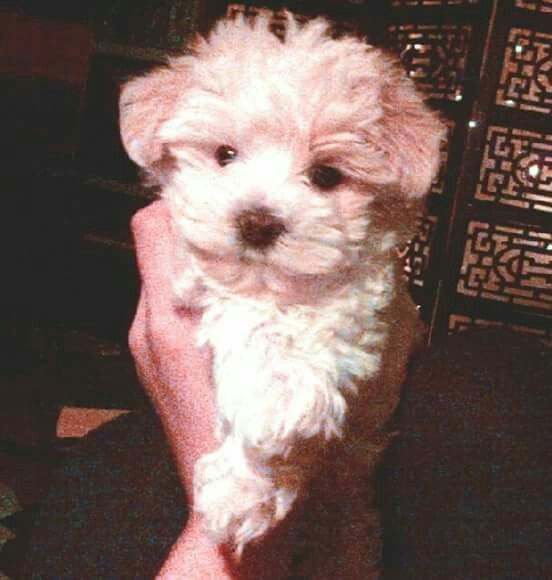 My New Puppy Maltese Mix Puppies New Puppy Maltese Mix