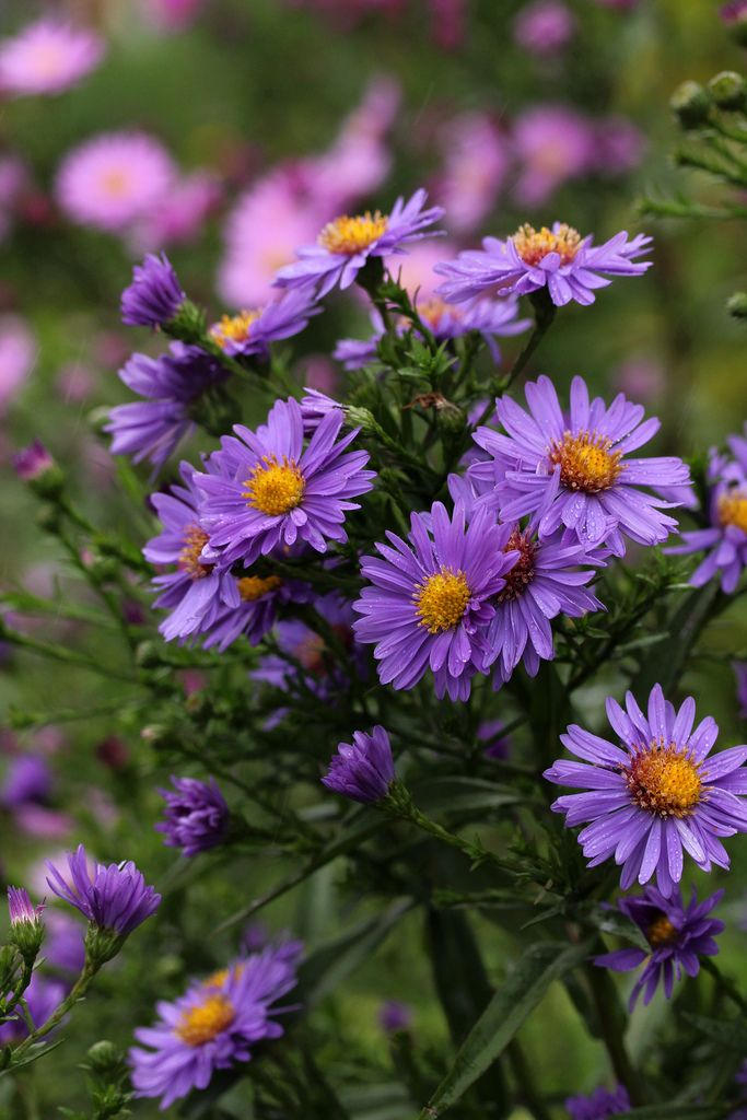 Chronicles Of A Love Affair With Nature Aster Shades Of Violet Flower Garden
