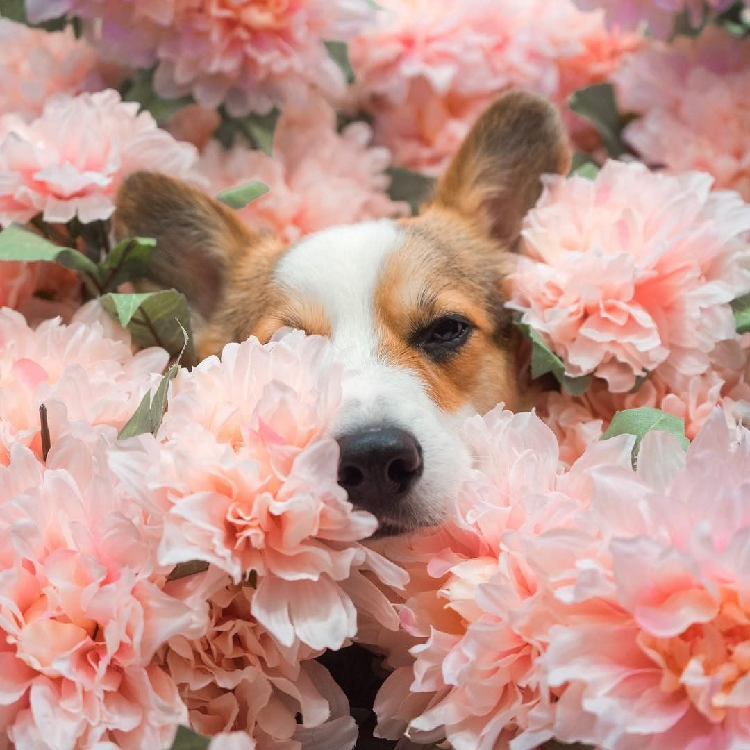 "My Modern Met on Instagram: ""The pawfect hiding place. 📸: @paulthecorgi 🌸🌸🐶🌸🌸#photography #photographylovers #photographysouls #animalphotography #flowerartgraphy #dog…"""