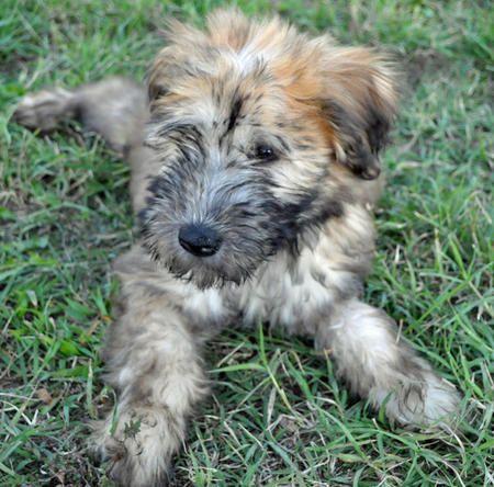 Wheaten Terrier Mix Breeds Finnegan The Soft Coated Wheaten