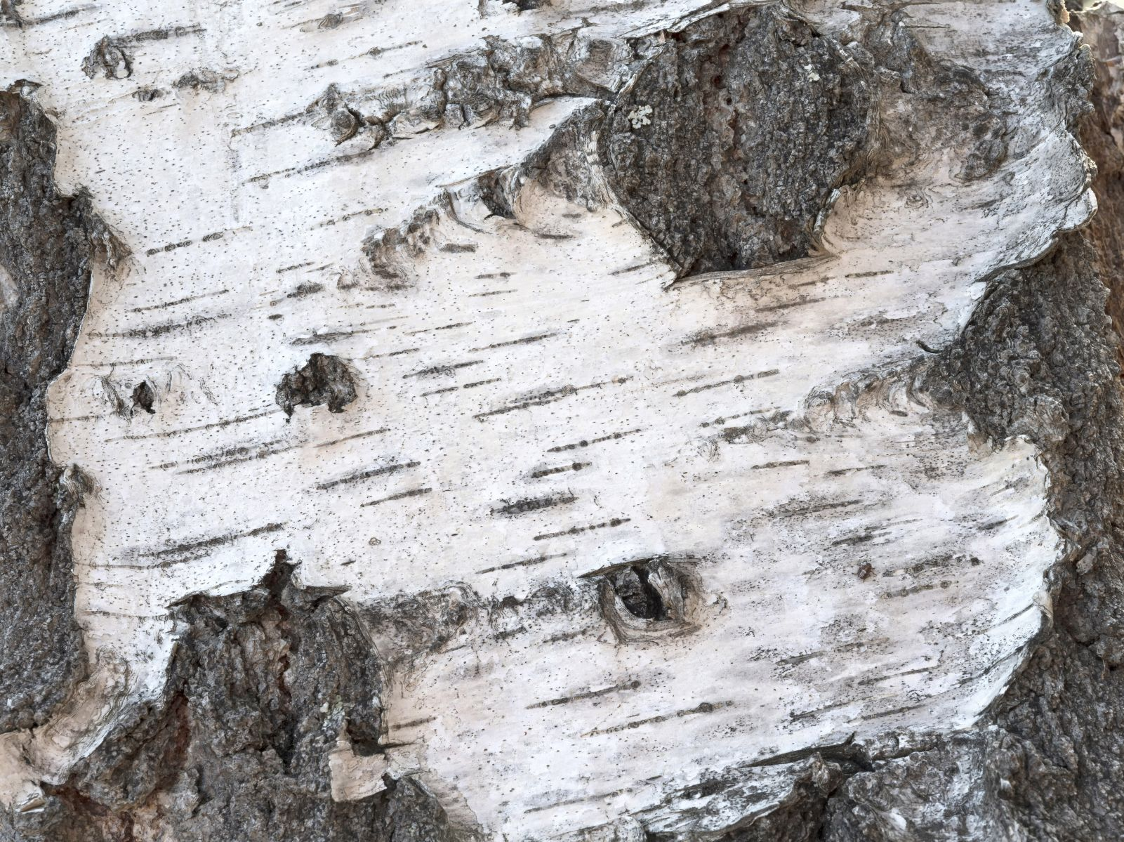 Willow Tree Bark Is Falling Off How To Treat Peeling Willow Bark Willow Tree Willow Bark Tree Bark