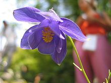 Aquilegia Wikipedia The Free Encyclopedia Flower Names Types Of Flowers Flowers Name List