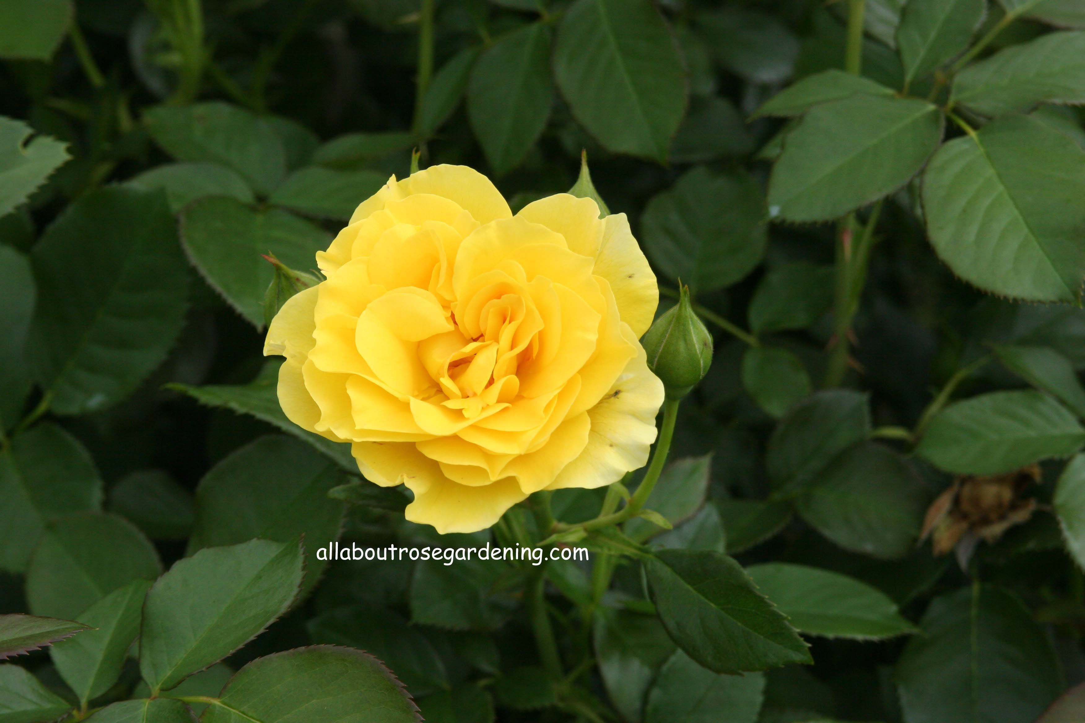 Do You Know The Meaning Of A Yellow Rose The Different Colrs Have