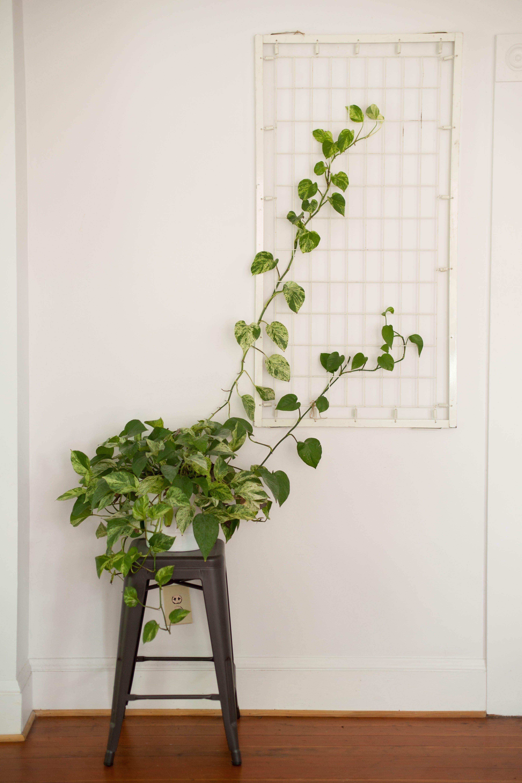 Indoor Climbing Plant Indoor Vines Wall Climbing Plants Indoor Climbing Plants