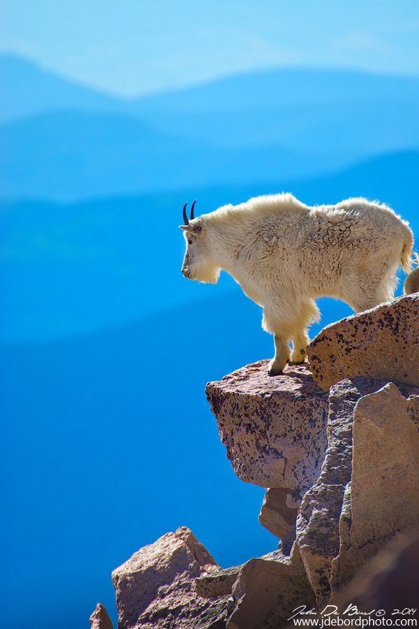 ~~Living On The Edge   Mountain Goat at the summit of Mount Evans, Colorado by kkart~~  Beautiful and amazing Animals!