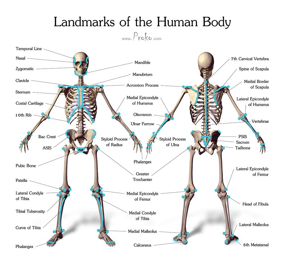 Draw Accurate Bones And Muscle Anatomy Favorites Anatomy For