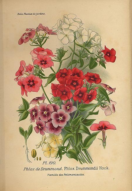 """Chromolithograph botanical plate from """"Atlas des plantes de jardins et d'appartements"""" by D. Bois; Paris: Librairie des Sciences Nat., 1896"""