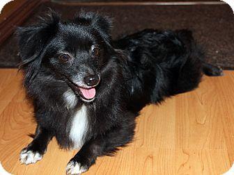 Black Pomeranian And Chihuahua Mix Google Search Black