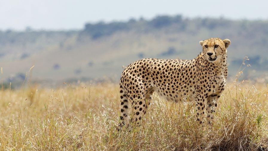 Download Wallpapers Download 2790x2547 Animals Grass: Cheetah Wild Cat Grass Iphone7 Hd Wallpaper Download