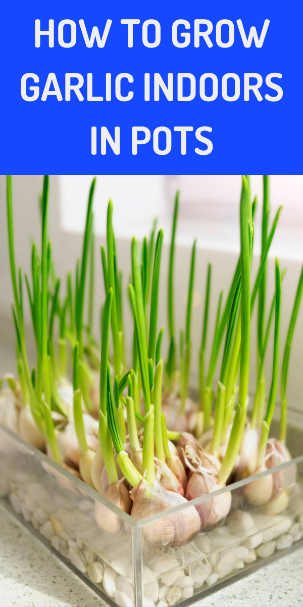 How To Grow Garlic Indoors In Pots Gardening Sun In 2021 Growing Garlic Grow Garlic Indoors Indoor Vegetable Gardening